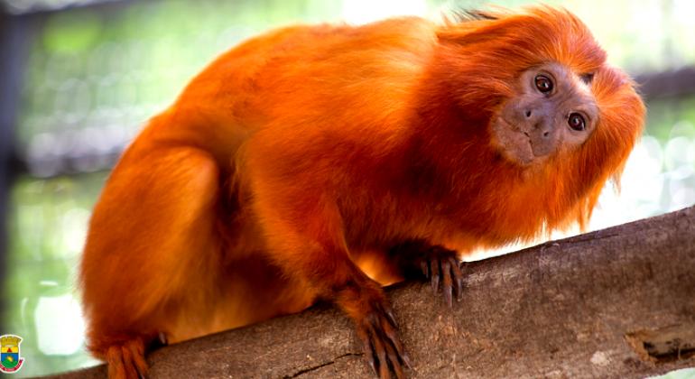 populares fotos do mico leão dourado pz29 ivango